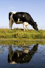 cow_v150